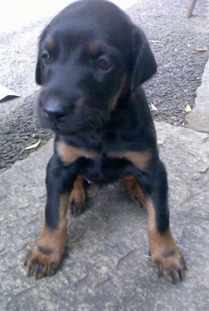 Close Up - Meena the small black and tan Doberman Pinscher puppy is sitting on a stone outside and looking to the left