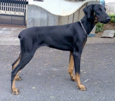 Meena the black and tan Doberman Pinscher is standing in a road with a wooden gate behind it