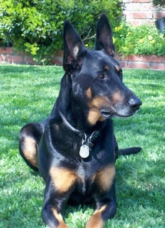 Cairo the Doberman Shepherd is laying outside in green grass a yard and looking to the right. There is a brick wall behind him.