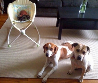 Two brown and white Dogs are laying and sitting on a rug in front of a baby in a cradle
