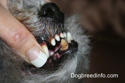 Close up - The right side of a grey with white dog's mouth. A person is exposing its underbite where the bottom row stick out further than the top.