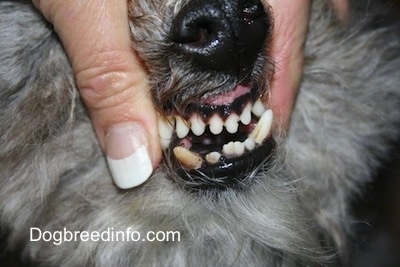 Close up - A person is showing the teeth of a dog. It has crooked teeth and its bottom row stick out further than its top.