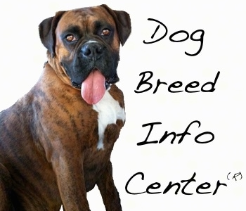 Bruno the Boxer with the words 'Dog Breed Info Center(R)' next to him