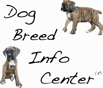 dwarf labridor retriever breeder