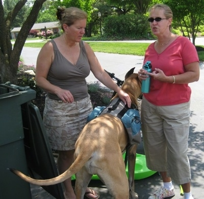 Hercules the Great Dane waits patiently while Delores chats with a neighbor, once a victim of Herc's aggression.