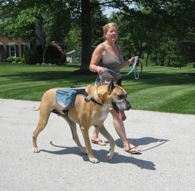 Hercules the Great Dane wearing a backpack going on a walk with a lady