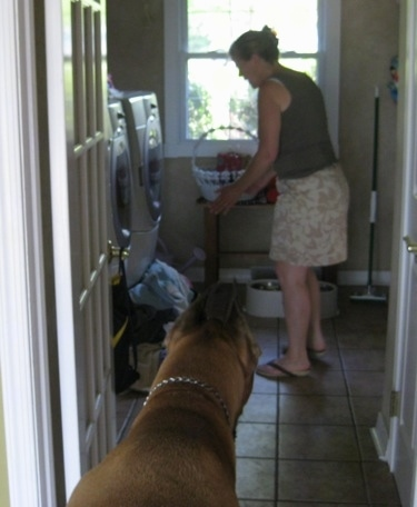 Hercules the Great Dane being told to wait by a lady putting down a food bowl
