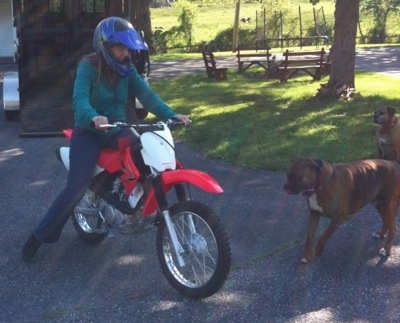 A person is sitting on a dirt bike in front of a brown and a brown brindle with white Boxer.