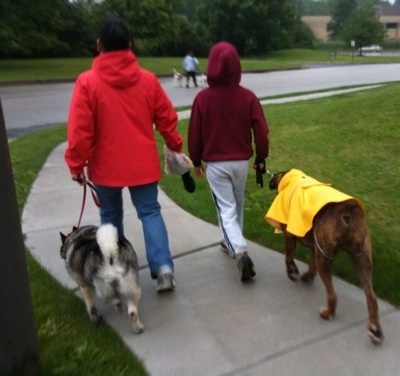 Bruno the Boxer wearing a yellow rain coat and Tia the Elkhound being led on a walk in the rain