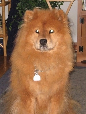 A red Chow Chow is sitting on a carpet and it is looking forward.