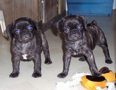 Two black Frenchie Pug puppies are standing on a tiled floor. The right puppy is standing on top of a dog toy.