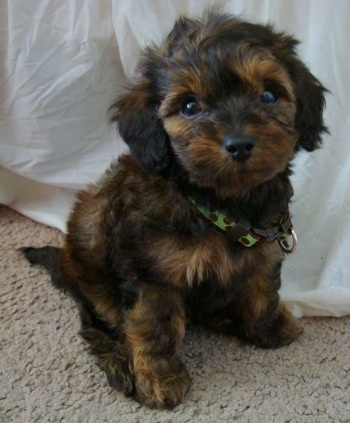Bubba the black and brown Doxie Poo puppy is sitting on a tan carpet next to a white sheet