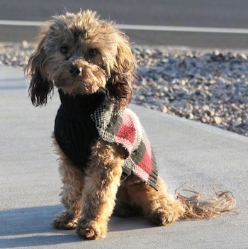 Doxiepoo Dog Breed Information And Pictures
