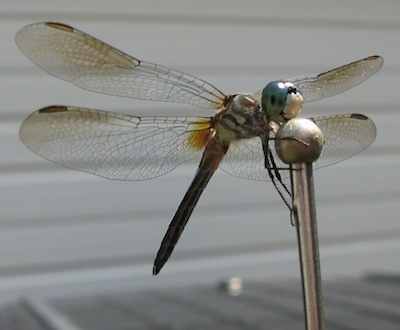 Close up - Dragonfly perched on a car antenna