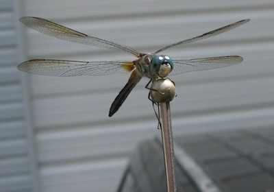 Close up - Dragonfly on an antenna