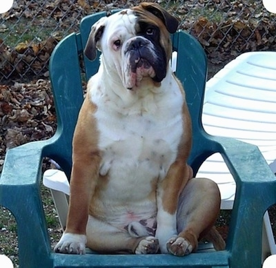 Amos Moses the tan, white with black EngAm Bulldog is sitting on a plastic green lawn chair with his back against the back of the chair. His belly is exposed and he is sitting on his bum. There is a chain link fence and a white reclined lawn chair behind him
