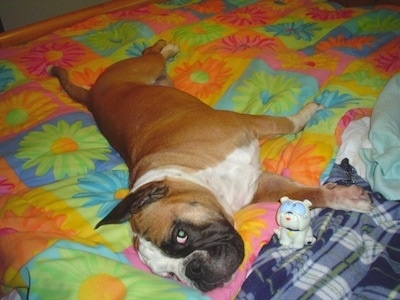 Amos Moses the EngAm Bulldog is laying on his side on a bed on top of a very colorful flowered comforter. There is a white plastic Bulldog toy in front of him.