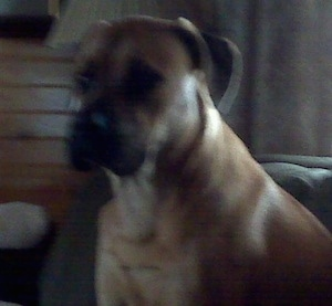 Close Up upper body shot - Gunner the Englian Mastiff is sitting in a couch and looking forward