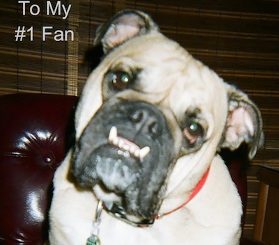 Close Up - Sir Bucksnort sitting on a leather couch and looking at the camera holder with its head tilted to the right and his bottom teeth sticking out in a big underbite with the Words 'To My #1 Fan' overlayed