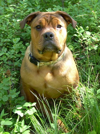 Maxwell Corneilus Von Hopper the brown English Bullweiler is sitting in tall grass and weeds and looking up