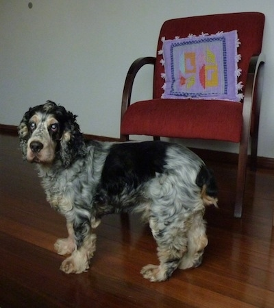 Sparky the black, tan, gray and white English Cocker Spaniel is standing on a hardwood floor in front of a red chair with a single purple pillow on it
