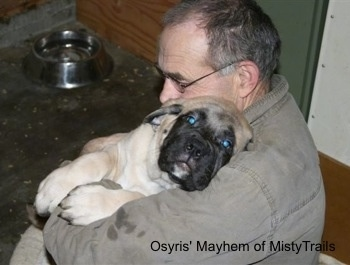 An English Mastiff puppy is laying in the arms of a man with its head on the man's shoulder.