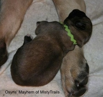 A tan with black newborn English Mastiff puppy is wearing a green shoe string around its neck and laying on the paw of a full sized English Mastiff.