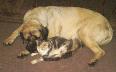 A large breed, tan English Mastiff dog is laying down next to a calico cat  with a coffee table behind them.