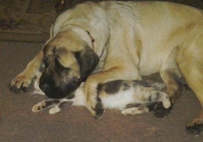 A calico cat is laying on its side under the head and paw of a tan with black English Mastiff on a brown carpet in a living room.