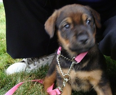 Aries the black and tan English Mastweiler puppy is wearing a pink collar and leash sitting outside in a grass with a person kneeling behind her.