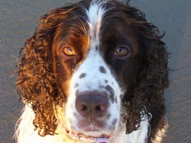 Close Up head shot - A wet Molly the brown and white English Springer Spaniel is sitting in sand