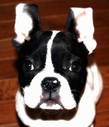 Close Up - A black and white Faux Frenchbo Bulldog puppy is sitting on a hardwood floor and looking up. Both of its ears are up.