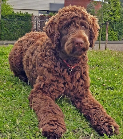 Kenzo the brown wavy-coated Flandoodle is laying in a field. There is a sidewalk and a building behind him.