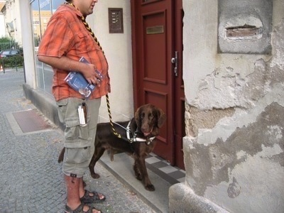 A Flat-Coated Retriever dog is standing in front of a door of a building and there is a person in an orange shirt behind it