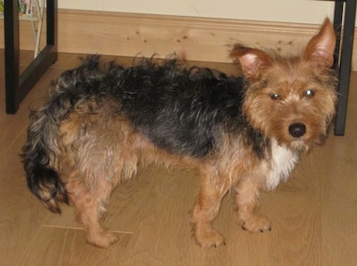Harvey the Fourche Terrier at 1 and 1/2 years old.