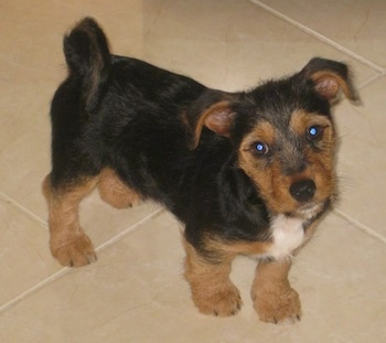 A tan, black and white Fourche Terrier puppy is standing on a tan tiled floor with its head tilted to the left