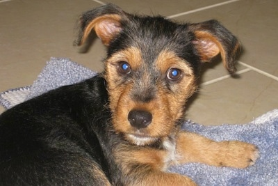 Harvey the Fourche Terrier as a 3 month old puppy.