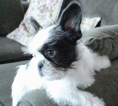 Yoji the French Bulldog / Shih Tzu mix (French Bull Tzu)