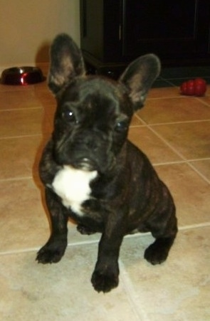 French Bulldog Dog Breed Pictures 2