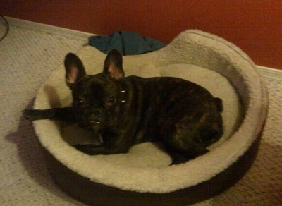 A black French Bulldog is laying in a dog bed and looking up