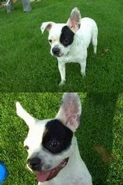Top Photo - Sita the French Bulloxer is standing in grass with one ear flopped down and another ear flopped up. Bottom Photo Close Up - Sita the French Bulloxer is on her back in a field and both large ears are up. Her mouth is open and tongue is out
