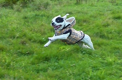 Action shot - Sita the French Bulloxer is wearing a tan plaid hoodie and jumping through a large amount of grass. Its mouth is open and tongue is out