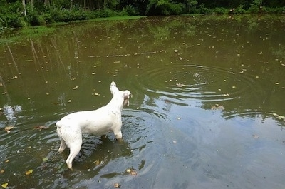 Sita the white with black French Bulloxer is standing in a body of water and looking at a ripple
