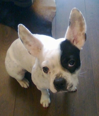 Sita the French Bulloxer (French Bulldog / Boxer mix).