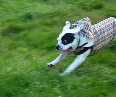 Action shot - Sita the French Bulloxer is running through a field. He is wearing a brown, tan and blue plaid hoodie. His mouth is open and tongue is out