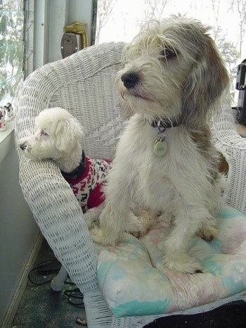 A little white Bichon dog is wearing a red, white and black sweater with its head on the side of a wicker chair with a larger Petit Basset Griffon Vendeen dog sitting on the chair next to it.