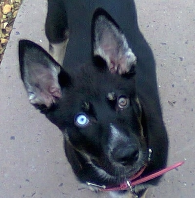 A black with tan and white Gerberian Shepsky puppy with one blue eye and one brown eye is standing on a sidewalk and looking up.