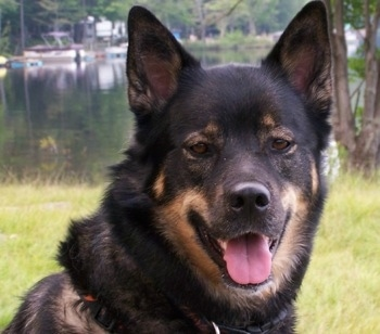 Close Up head shot - A black with tan Gerberian Shepsky is sitting in a field in front of a body of water that has boats in it. Its mouth is open and its tongue is out