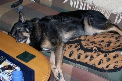 A black with tan Gerberian Shepsky is laying on a earthy-colored plaid couch and its head is on a coffee table