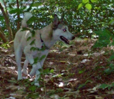 A white with tan and black Gerberian Shepsky is walking in a shaded wooded area in between trees